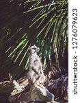 suricata watching  funny meerkat   Shutterstock . vector #1276079623