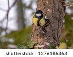 the great tit  parus major  is...   Shutterstock . vector #1276186363