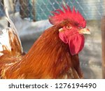 Red Rooster On The Farm Close...