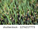 sprouted oats.green sprouted... | Shutterstock . vector #1276217773