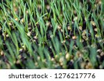 sprouted oats.green sprouted... | Shutterstock . vector #1276217776