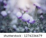 flower of alpine asters under...   Shutterstock . vector #1276236679
