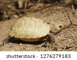 Stock photo elongated tortoise in the nature indotestudo elongata tortoise sunbathe on ground with his 1276279183