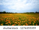 the yellow and orange cosmos... | Shutterstock . vector #1276355359