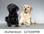 Blonde And Black Labrador...