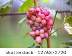close up of young vine plant... | Shutterstock . vector #1276372720