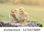 chicks with nature in the... | Shutterstock . vector #1276473889
