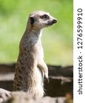 meerkat   suricata suricatta on ...   Shutterstock . vector #1276599910