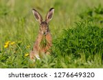 Stock photo european brown hare lepus europaeus germany europe 1276649320