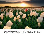 pink and red tulip field at...   Shutterstock . vector #1276671169