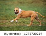 adorable staffordshire terrier... | Shutterstock . vector #1276720219