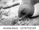 portrait of dovekey  plautus... | Shutterstock . vector #1276722133