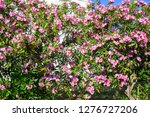 pink oleander or bougainvilleas ... | Shutterstock . vector #1276727206