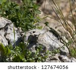 Small Lizard On A Rock In The...
