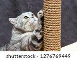 Gray Shorthair Scottish Striped ...