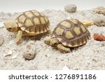 Stock photo cute portrait of baby tortoise hatching africa spurred tortoise birth of new life closeup of a 1276891186