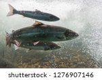 Stock photo salmon swimming against river current norway europe stavanger region rogaland ryfylke scenic 1276907146