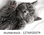 Stock photo grey kitten sleeps scottish breed cute kitten sleep 1276920379