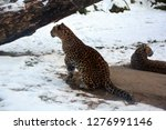 mother and cub amur leopard is... | Shutterstock . vector #1276991146