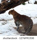 mother amur leopard is a... | Shutterstock . vector #1276991530