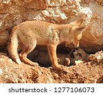 two cute red foxes  kits  pups  ... | Shutterstock . vector #1277106073