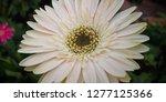 beautiful white gerbera is... | Shutterstock . vector #1277125366