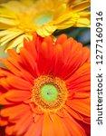 bouquet of gerberas. colorful... | Shutterstock . vector #1277160916
