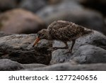 a baby oyster catcher looking...   Shutterstock . vector #1277240656