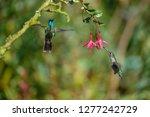 blue hummingbird violet... | Shutterstock . vector #1277242729