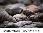 an oyster catcher baby bird...   Shutterstock . vector #1277245216