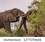 elephants with trunks entwined | Shutterstock . vector #1277254636