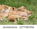 part of lion pride  adult and...   Shutterstock . vector #1277282356