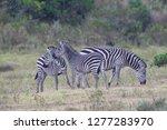 three plains zebras  equus...   Shutterstock . vector #1277283970