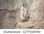 suricata looking something   Shutterstock . vector #1277320450
