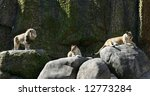 male and two female lions resting on rocks - stock photo