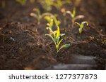 Small Corn Fields Start Growsunrise - Fine Art prints