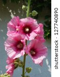 Small photo of Garden hollyhock lcea Althea rosea