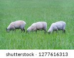 Three Sheeps Grazing And Enjoy...