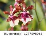 oncidium sharry baby orchid... | Shutterstock . vector #1277698066