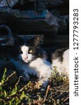 beautiful black and white cat... | Shutterstock . vector #1277793283