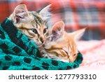 two cute kittens in a towel. | Shutterstock . vector #1277793310