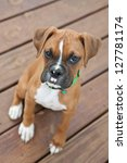 Fawn Boxer Puppy Sitting On...