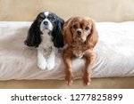 two dogs waiting together for... | Shutterstock . vector #1277825899