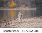 wolf dog on the river bank | Shutterstock . vector #1277865286