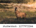 male red deer in la pampa ... | Shutterstock . vector #1277972266