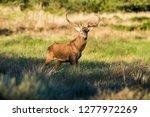 male red deer in la pampa ... | Shutterstock . vector #1277972269