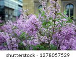 florescence of syringa vulgaris ... | Shutterstock . vector #1278057529