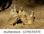 beautiful family of suricata   Shutterstock . vector #1278153370