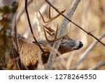 a white tailed deer buck... | Shutterstock . vector #1278264550