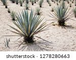 agave tequilana  commonly... | Shutterstock . vector #1278280663